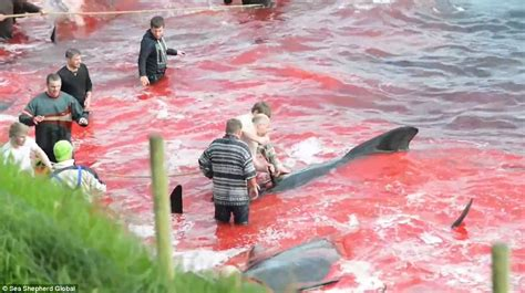 Blood Of The Water 250 whales massacred by locals on in the faroe