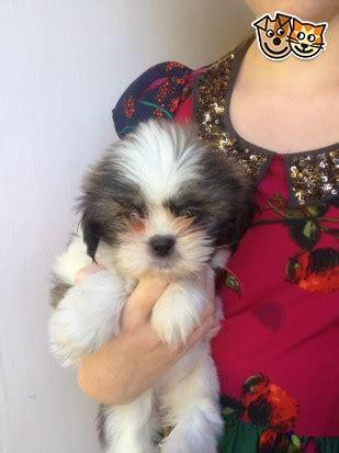 shih tzu for sale glasgow shih tzu pups for sale 8 weeks glasgow lanarkshire pets4homes