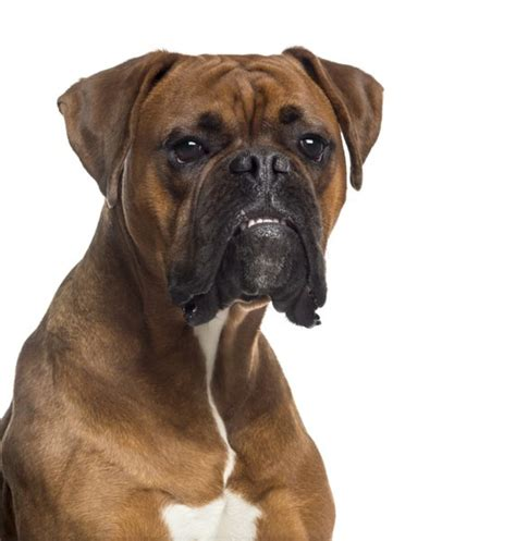 What Dogs Were Used to Create the Boxer? | Dog Care ...