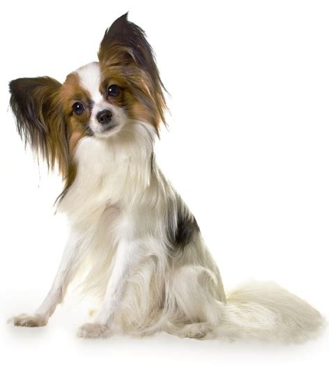 best small breed dogs best 50 small breeds for apartments page 2 of 5 platpets resources
