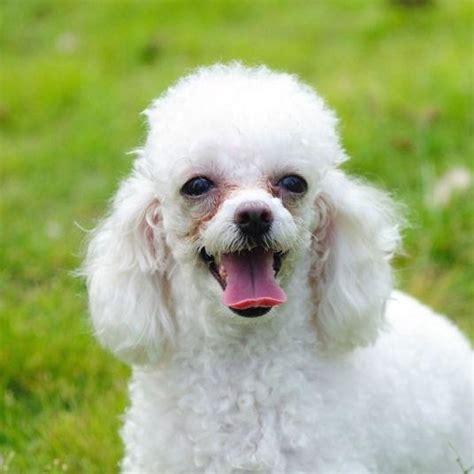 10 tipos de corte de pelo para perros caniche o poodle - Corte Pelo Caniche