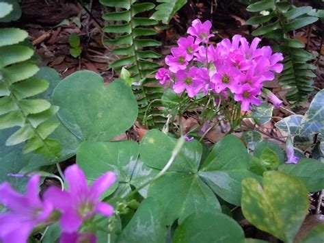 florist winter garden fl okay yes i think this oxalis clover is