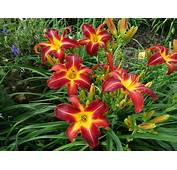 Lilies Dark Red Flowers Daylily Multicolored Hemerocallis