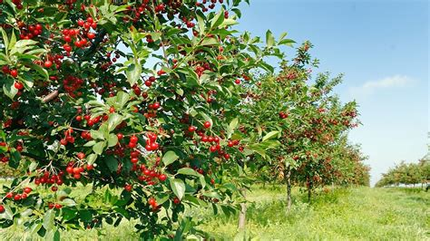 cherry tree planting how to growing planting and pruning cherry cherries gardening tips