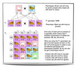 ib biology notes 10 2 dihybrid crosses and gene linkage