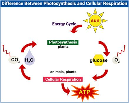 Differences Between Photosynthesis And Cellular Respiration the differences between cellular respiration and
