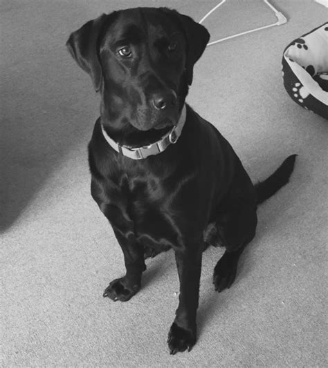 dudley lab puppies for sale 2 year labrador bruno dudley west midlands pets4homes
