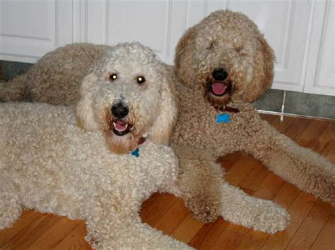 miniture golden doodle hair cuts haircuts for goldendoodles haircuts models ideas