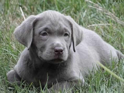 silver labrador puppies silver labrador retrievers lab