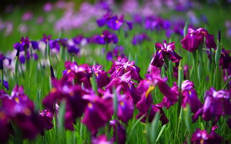 picture of an iris flower beautiful flowers