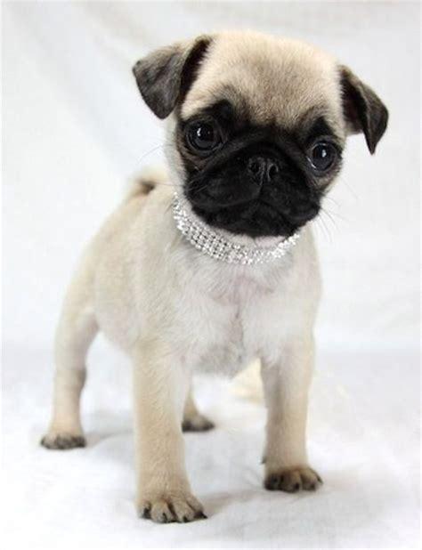 adorable baby pugs stylish baby pug pugs