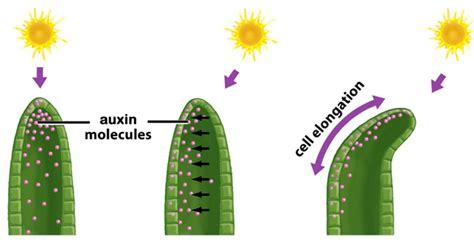 Hormon Auxin into the light dukes gardens