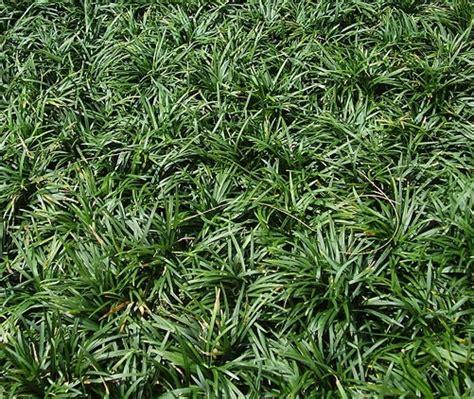Tanaman Rumput Mini Kucai cara menanam dan merawat rumput kucai mini bibitbunga