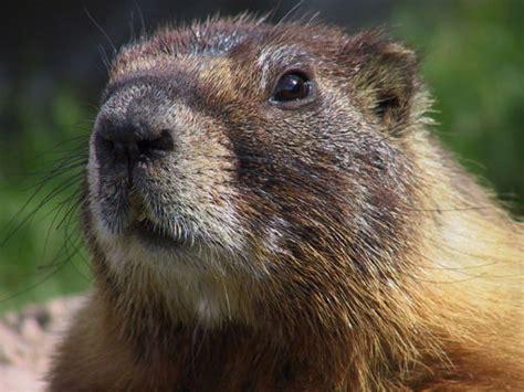 groundhog day que es hoy es el d 237 a de la marmota el meteor 243 logo m 225 s curioso