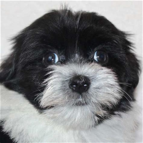 black and white havanese puppies for sale havanese puppy for sale in boca raton south florida