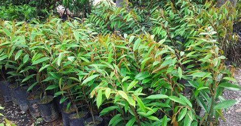 Kunyit Asam 25gr Isi 5 bumi hijau nursery 002279488 d durian kunyit