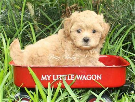 yorkie dogs for sale in baton teacup tiny maltipoo puppies for sale in baton