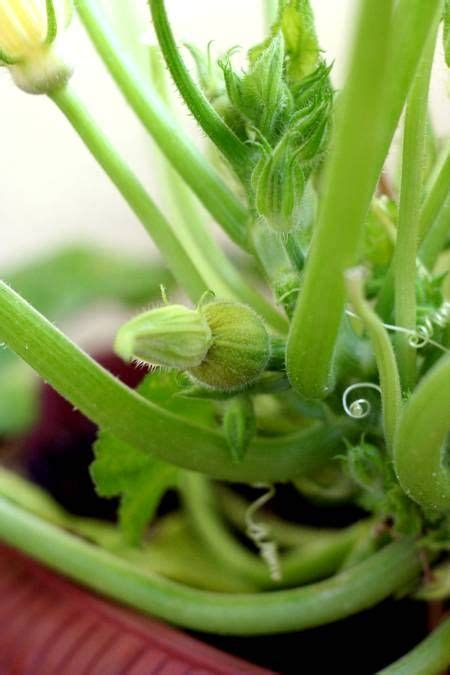 zucchine in vaso come coltivare le zucchine in vaso a partire dal seme
