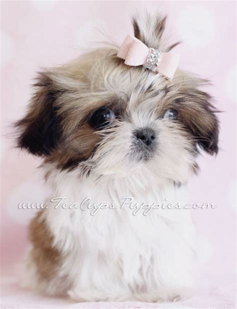 tiny shih tzu puppies 25 best ideas about chow puppies for sale on bake sale cookies bake sale