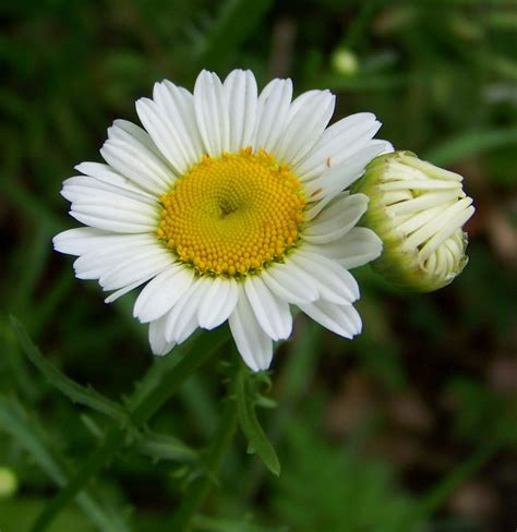 imagenes de flores otoñales galer 237 a de im 225 genes margaritas