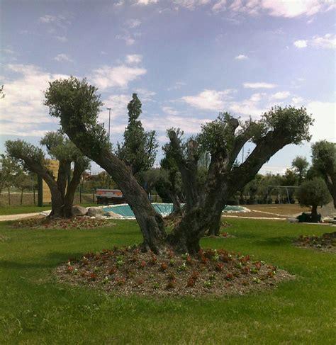 alberi sempreverdi da giardino alberi decorativi da giardino design casa creativa e