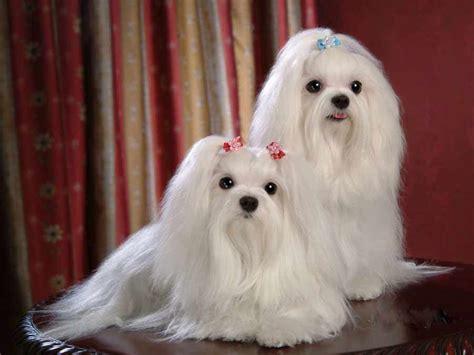 maltese breed maltese breed standards