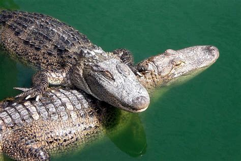 The Crocodile 2 crocodile the animals kingdom