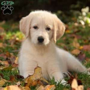 labrador puppies craigslist lab chow mix puppies craigslist 4k wallpapers