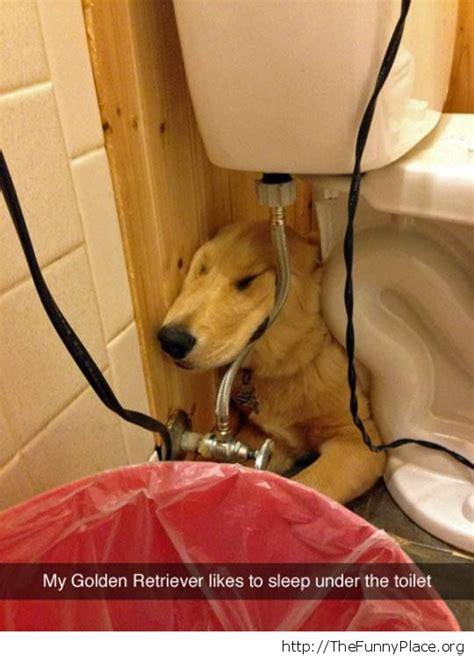 golden retriever toilet golden retriever the toilet thefunnyplace