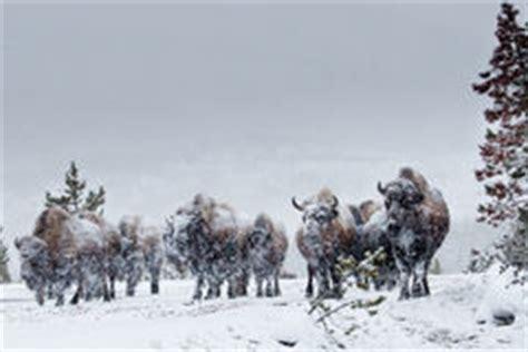 amerikanischer herd amerikanischer bison herde lizenzfreie stockfotos bild