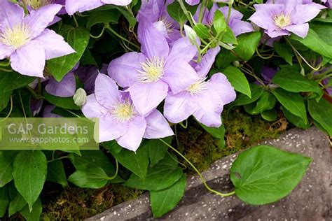 Patio Clematis by Gap Gardens Clematis Cezanne Compact Patio Clematis