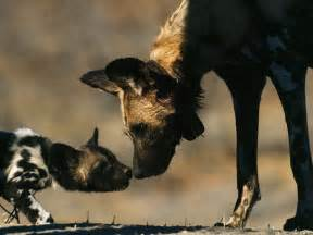 feral dogs pictures national geographic