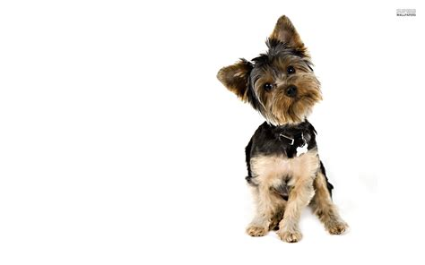 where can i buy a yorkie puppy terrier wallpapers hd