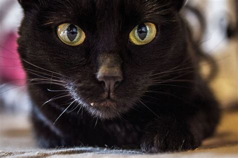 Black Cat 5 Fascinating Facts About Black Cats