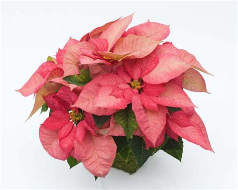 ecke ranch poinsettia varieties wonderful colors and size blooms botanic beings pinterest
