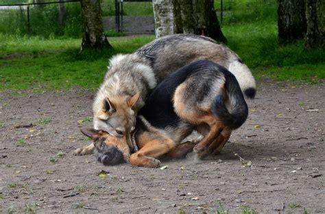 puppy teeth vs teeth wolf vs german shepherd puppy breeds picture