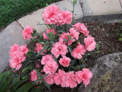 garofani in vaso i garofani fiori fiore garofano