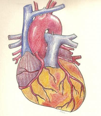 anterior view of coronary arteries, full color | ecg guru