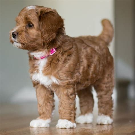 goldendoodle puppies for sale in louisiana 1000 images about labradoodles on poodles