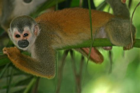 squirrel central file central american squirrel monkey jpg wikimedia commons