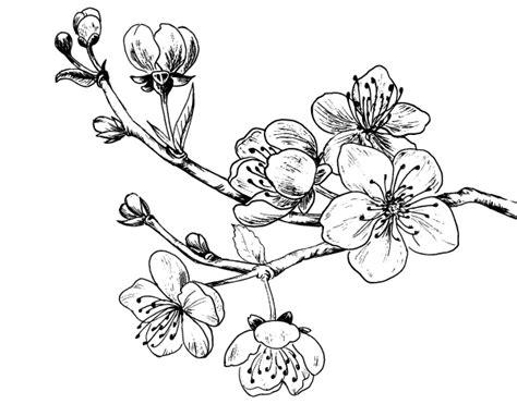 fiore di ciliegio disegno disegno di ramo di ciliegio da colorare acolore