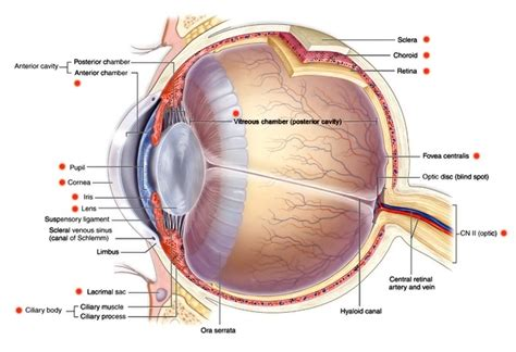 eyeball diagram eye anatomy and eye diagram iris pharma