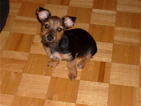 chihuahua and yorkie mix for sale yorkie chihuahua mix for sale bc