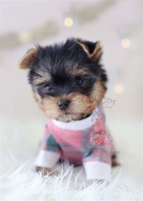 teacup yorkie 177 best teacup yorkies yorkie puppies images on