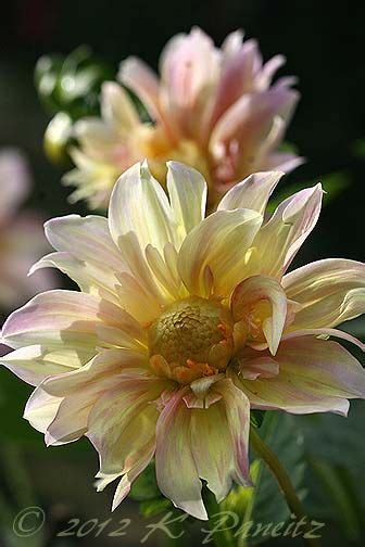 Dahlia Apple dahlia apple blossom i will try to find this it s lovely