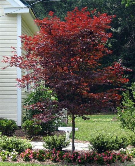 emperor1 japanese maple thuja gardens