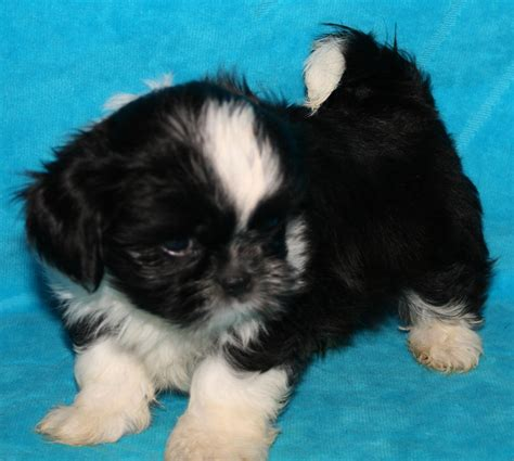 shih tzu puppies for sale in knoxville tn shih tzu puppies for sale in kentucky