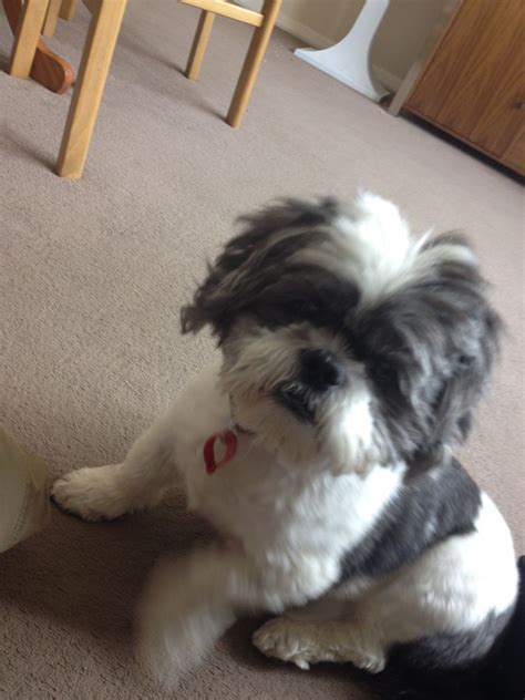 shih tzu for sale shih tzu for sale kettering northtonshire pets4homes