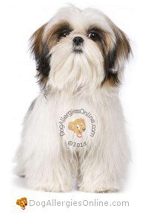 shih tzu arthritis smaller sized allergy friendly dogs