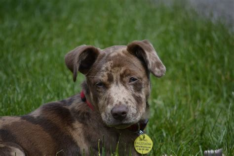 catahoula pitbull mix puppies for sale catahoula leopard mix pit bull terrier
